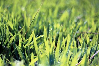 grass blades with water droplets on top